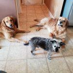 2 Golden Retrievers and a black dog