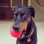 Brown Dog with ball in mouth
